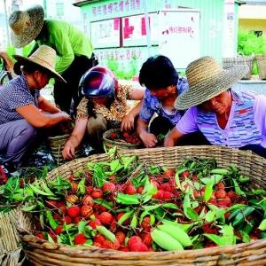 惠阳镇隆月底举办荔枝节提升品牌价值促果农增收